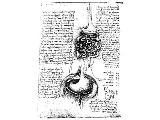 Leonardo Anatomy Nthe Alimentary Tract Above The Sub Diapragmatic