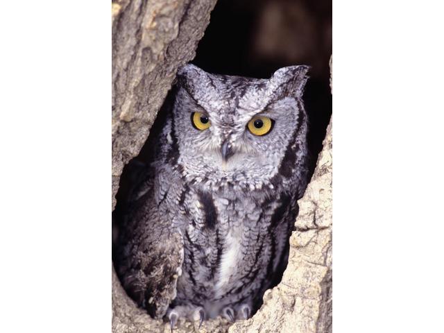 Western Screech Owl (8 x 10) in hollow Cottonwood tree Poster Print (8 x  10) - Newegg com