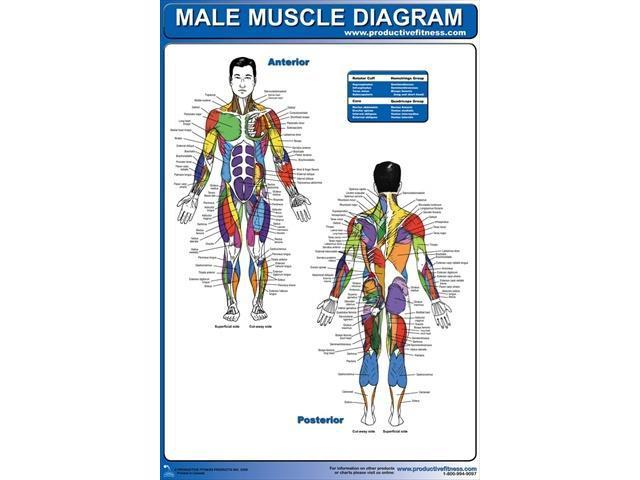 productive fitness cmp male muscle diagram - paper