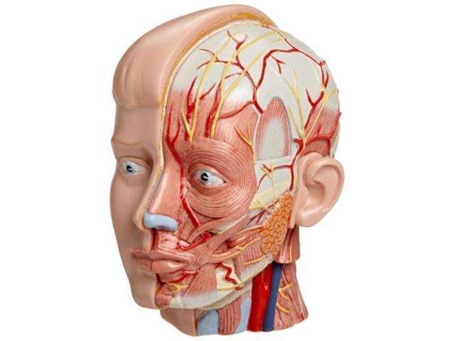 3b Scientific Mac07 Medart Human Head Anatomy Model With Neck