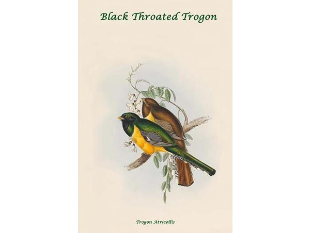 Trogon Atricollis Black Throated Trogon Poster Print By John Gould 18 X 24 Newegg Com