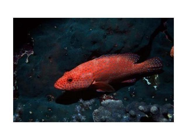 Coral hind at Elphinstone Reef, Red Sea, Egypt Poster Print by Ali Kabas  (18 x 12) - Newegg com
