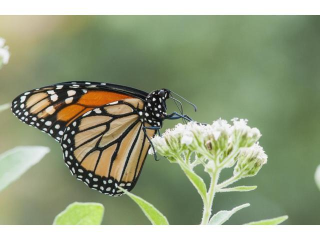 A Monarch Butterfly Resting On Small White Flowers; Vian