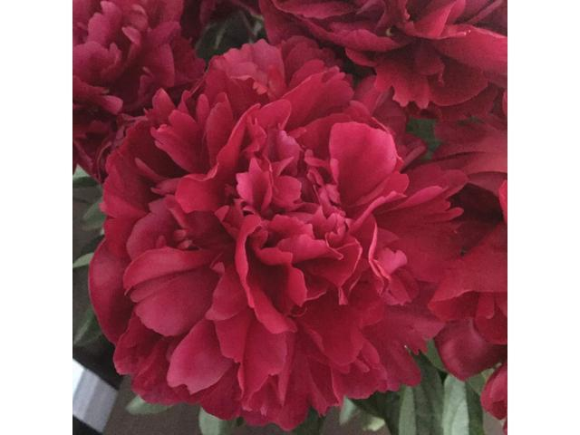 Burpee Perennial Peony Lady In Red 1 Bare Root Plant Newegg