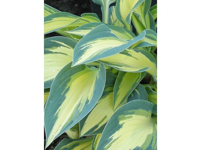 Burpee Bare Root Hosta Magic Island 3 Bare Root Plants Neweggcom