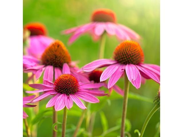 The Dirty Gardener Echinacea Purpurea Tall Purple Coneflower Seeds - 1  Pound - Newegg com