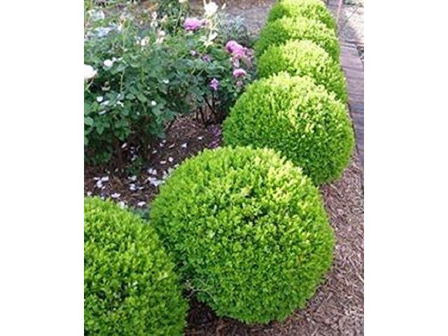 New Life Nursery Amp Garden True Dwarf English Boxwood 2 Gallon Pot Newegg