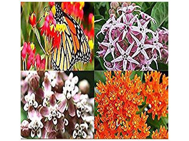 BIG PACK 406000 FAIRY BOUQUET BABY SNAPDRAGON Seeds Linaria maroccana PINK  WHITE PURPLE amp YELLOW MIX BABY SNAPDRAGON TOADFLAX Flower Seeds By