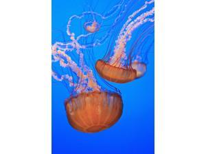 Sea Nettles (Chrysaora Fuscescens) In Monterey Bay Aquarium Display Monterey California United States of America Poster Print (12 x 19)