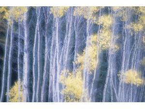Poplar Trees In Autumn Grey Creek Pass East Kootenays British Columbia Canada Poster Print (17 x 11)