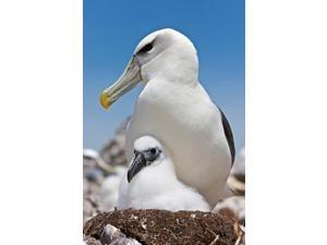 Australia, Tasmania, Bass Strait Shy albatross with chick Poster Print by Rebecca Jackrel (24 x 36)
