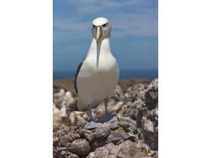 Australia, Tasmania, Bass Strait Shy albatross Poster Print by Rebecca Jackrel (24 x 36)