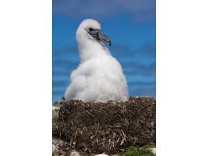 Australia, Tasmania, Bass Strait Albatross chick Poster Print by Rebecca Jackrel (24 x 36)