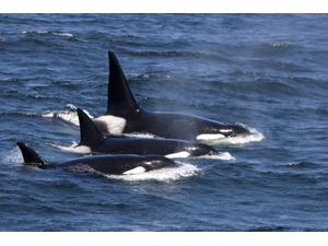 Group of transient killer whales swimming in Monterey Bay Pacific Ocean California Poster Print by VWPicsStocktrek Images (17 x 11)