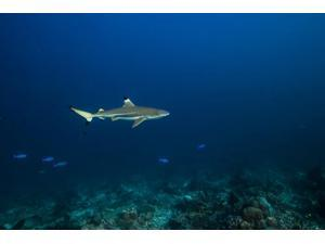 Blacktip shark in St Croix US Virgin Islands Poster Print by Jennifer IdolStocktrek Images (17 x 11)