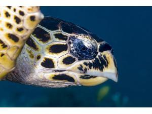 Hawksbill sea turtle head Cebu Philippines Poster Print by Bruce ShaferStocktrek Images (17 x 11)