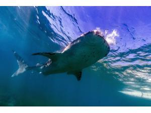 Whale shark near the surface Cebu Philippines Poster Print by Bruce ShaferStocktrek Images (17 x 11)