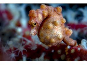 A pregnant pygmy seahorse Cebu Philippines Poster Print by Bruce ShaferStocktrek Images (17 x 11)