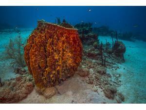 Coral reef in St Croix US Virgin Islands Poster Print by Jennifer IdolStocktrek Images (17 x 11)