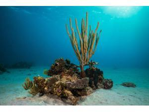 Coral reef in St Croix US Virgin Islands Caribbean Poster Print by Jennifer IdolStocktrek Images (17 x 11)