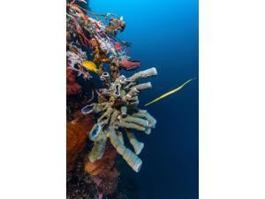 Golden phase trumpetfish with tube sponges Cebu Philippines Poster Print by Bruce ShaferStocktrek Images (11 x 17)