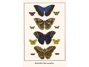 Butterflies Blue morphos Morpho menelaus Nymphalidae Notodontidae Caligo teucer Adelphi cytherea Josia Poster Print by Albertus  Seba (18 x 24)