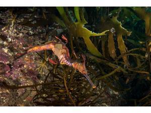 Weedy sea dragon Tasmania Australia Poster Print by Brandi MuellerStocktrek Images (17 x 11)