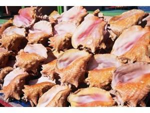 Conch Shells, St Georges, Grenada, Caribbean Poster Print by Paul Thompson (36 x 24)