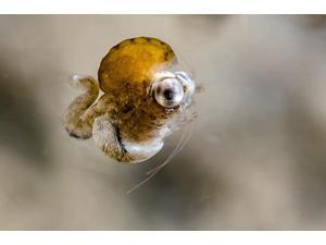 Tiny idiomysis shrimp Cebu Philippines Poster Print by Bruce ShaferStocktrek Images (17 x 11)