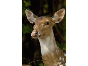 Spotted Deer wildlife, Bharatpur, Keoladeo Ghana, INDIA Poster Print by Pete Oxford (24 x 36)
