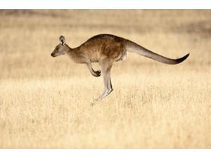 Eastern Grey Kangaroo, Tasmania, Australia Poster Print by Martin Zwick (36 x 24)