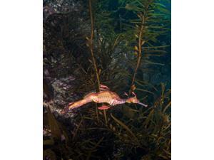 Weedy sea dragon Tasmania Australia Poster Print by Brandi MuellerStocktrek Images (11 x 17)