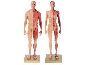 11\\\'\\\' Skin Color Female Male Anatomy Figure Anatomical Reference for Artists