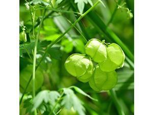 Balloon Vine Cardiospermum Halicacabum Plant Seed 100 Seeds