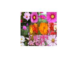 Pack Cosmos USA Mix 8000+ Flower Seeds By MySeedsCo Pack Cosmos Mix
