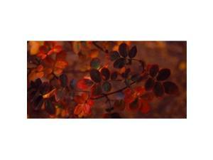 Panoramic Images PPI65022L Autumn leaves  Colorado  USA Poster Print by Panoramic Images - 36 x 12