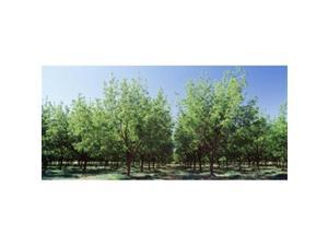 Panoramic Images PPI67590L USA  New Mexico  Tularosa  pecan trees Poster Print by Panoramic Images - 36 x 12